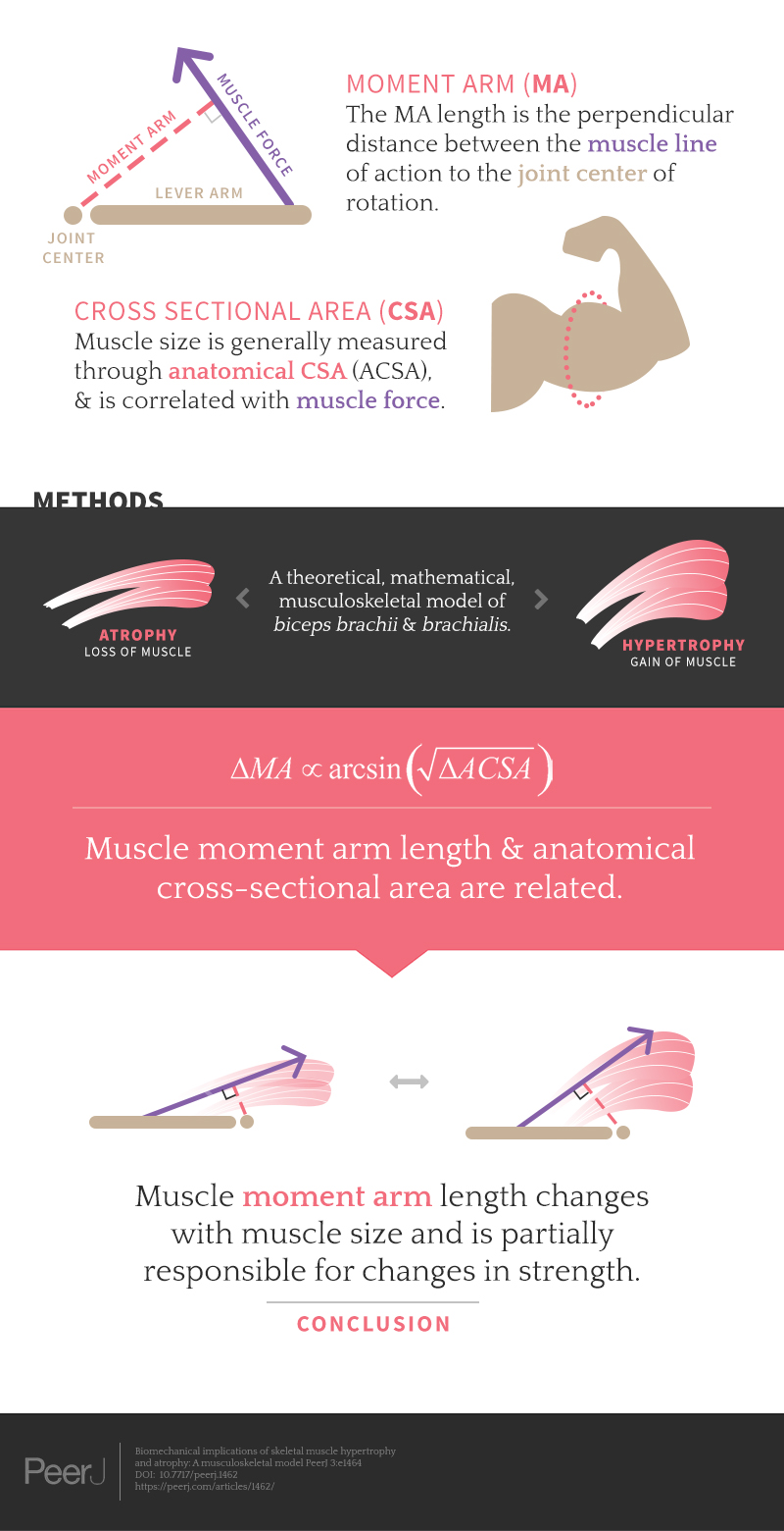 Biomechanical implications of skeletal muscle hypertrophy and